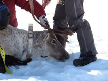 Laval university biologists put a collar on a captured caribou in Northern Quebec in February 2013. (PHOTO COURTESY OF CARIBOU UNGAVA)