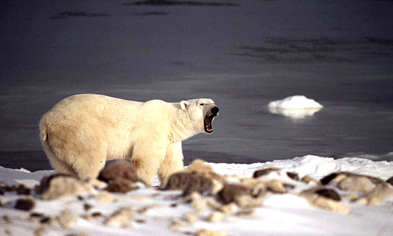 The hysterical reaction to the killing of Cecil the lion could produce collateral damage: Inuit hunters how use polar bear sports hunting to generate badly needed cash income. (FILE PHOTO)