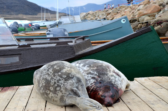 Ring seals lie on the dock in Qikiqtarjuaq.  (FILE PHOTO)