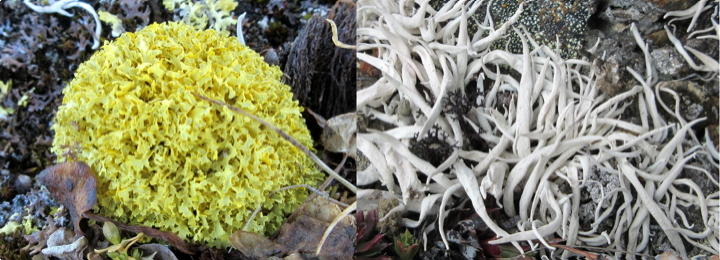 The cabbage-like yellow lichen on the left is known by its beautiful Latin name, vulpicida juniperina, and the octopus looking lichen on the right is known as thamnolia vermicularis. (PHOTOS COURTESY CANADIAN MUSEUM OF NATURE)